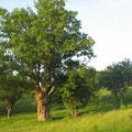 chêne têtard, typique de la région
