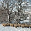 rustiques les moutons sous la neige !