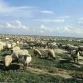 les moutons de pré-salé de la baie de somme