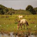 chevaux henson au marais du crotoy