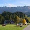 Die Kühe geniessen die Sonne