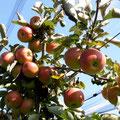 Tadellose Früchte