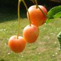 Cerises du jardin