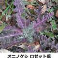 オニノゲシ  ロゼット葉 2/19 移入種