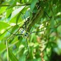 イボタガ亜終齢幼虫
