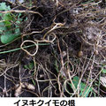 イヌキクイモの根 9/29 移入種 根に小さなイモ