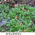 オランダガラシ 12/10 通称クレソン 在来種植物を駆逐する恐れや水路を塞ぐ危険性で、要注意外来植物
