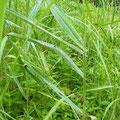 ヤハズハエトリ♂  オスクロハエトリの巣があるヨシの葉で 両者生息域は同じ 7/9 Km