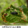コガタルリハムシ幼虫  4/10  食草はギシギシ