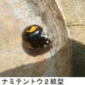 ナミテントウ2紋型 6/3