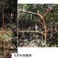 ミズキの幼木 2/9 神奈川県植物誌調査会藤沢グループAさんによる 谷戸内に橙色が目立つ