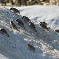 スズメ 1/10 牛糞を覆う揉殻の中からシート越しに米粒を取り出す