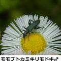 モモブトカミキリモドキ♂ 4/29