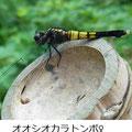 オオシオカラトンボ♀   7/18   Km