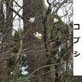 コブシ 3/22 谷戸内自然木