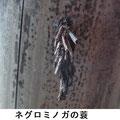 ネグロミノガの蓑 12/27