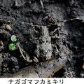 ナガゴマフカミキリ     7/5