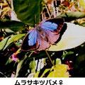 ムラサキツバメ♀ 1月 茅ヶ崎市M氏提供