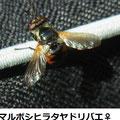 マルボシヒラタヤドリバエ♀  5/15   Km