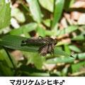 マガリケムシヒキ♂  6/3   蛾を捕る