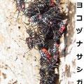 ヨコヅナサシガメ幼体越冬個体 3/17