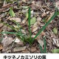 キツネノカミソリの葉 3/12 早春、狭長の葉が球根から出る