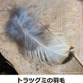 トラツグミの羽毛 3/17 暗い林床にいるが、姿や声の確認は困難