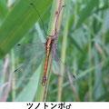 ツノトンボ♂ 7/16