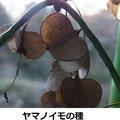 ヤマノイモの種   12/18   三枚羽構造で、天狗の鼻と呼ばれ鼻に貼り遊んだ