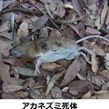 アカネズミ死体 3/18 竹林内