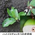 ハイイロチョッキリの産卵痕 9/5