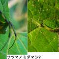 サツマノミダマシ♀ 7/31 左側脚が全て無い