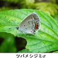ツバメシジミ♂   8/16