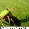 ワキグロサツマノミダマシ 7/19