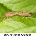 ホソハリカメムシ交尾 5/26