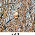 ノスリ 2/13 鎌倉市 I