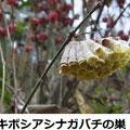キボシアシナガバチの巣 12/11 Km