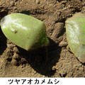 ツヤアオカメムシ 1/10 今冬の最寒日で越冬個体が死亡している