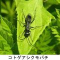 コトゲアシクモバチ 4/12 Km