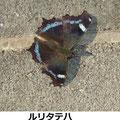 ルリタテハ♂? 3/22