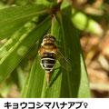 キョウコシマハナアブ♀ 11/7 産卵中