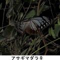 アサギマダラ♀ 10/28 Kk