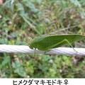 ヒメクダマキモ♀ 11/13