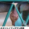 オオトリノフンダマシ卵嚢 12/2 イベント会場のフェンスで久々に見るが穴が開き、捕食されている