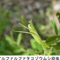 アルファルファタコゾウムシ幼虫 3/25 Km