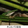 キンヒバリ幼虫 11/13 Kk