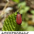 ムナビロアカハネムシ♂ 4/3 Km