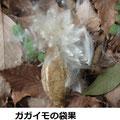 ガガイモの袋果(種) 2/19