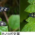 カノコガ交尾 6/25 ♀の腹部は♂より大きい