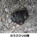 カラスウリの種 10/31 カマキリの顔の形
